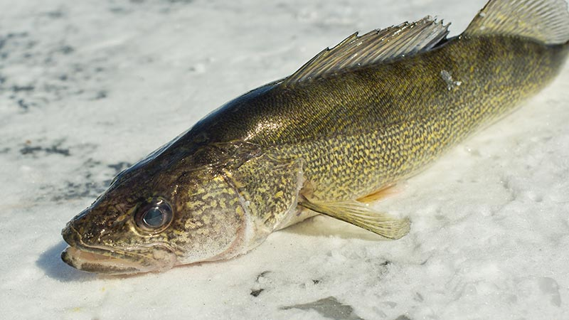 Ice fishing gallery for Ice fishing for walleye