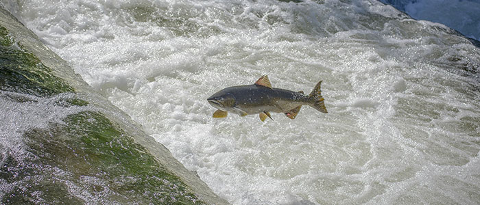 Coho Salmon Fishing Guides In Michigan From Walleye King